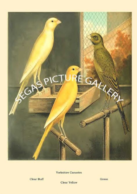 Fine art print of the Yorkshire Canaries - clear buff by the artist William Rutledge (1878)
